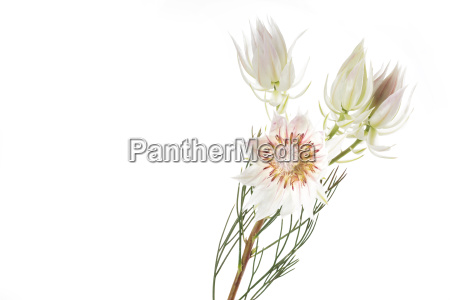 flowering of a serruria florida isolated