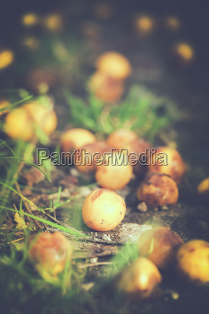 mirabelle fruits