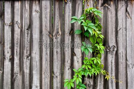 foliage wilden trauben auf vintage holz