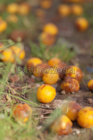 mirabelle fruits