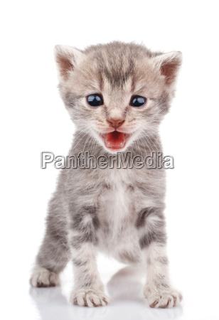 gray kitten crying