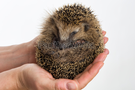 little hedgehog protected sitting in two