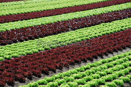 veggie salad lollo rosso salad lettuce