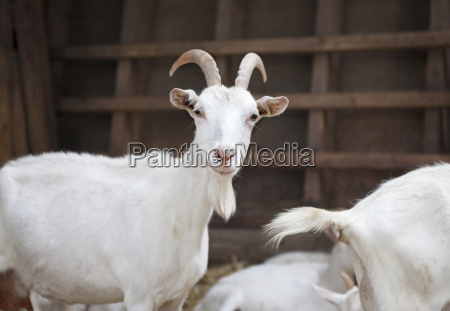 milk goats in the stable