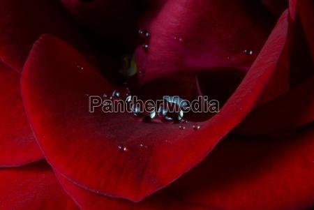 makro von roter rose