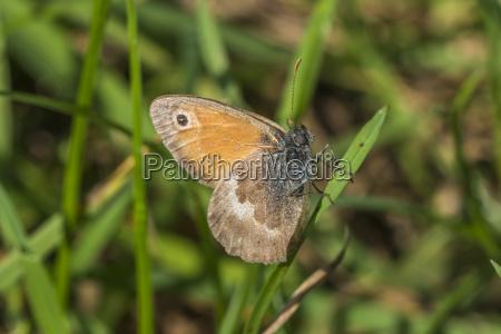 kleines wiesenvoegelchen coenonympha pamphilus
