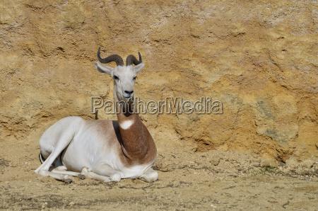 saeugetier horn liegen liegend liegt antilope