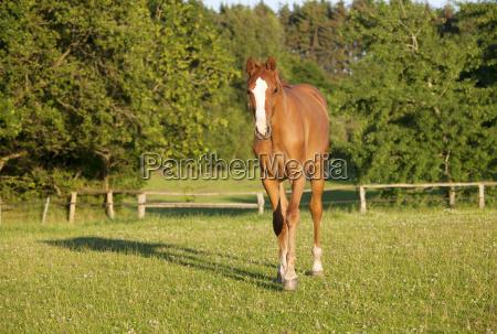 junges holsteiner pferd auf weide