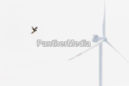 kestrel shakes in front of pinwheel