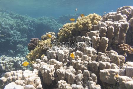 korallenriff mit poritenkorallen im tropischen meer