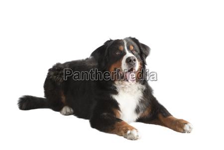 bernese mountain dog lying