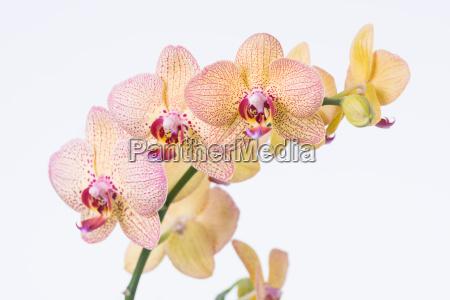 yellow phalaenopsis orchideen und knospe