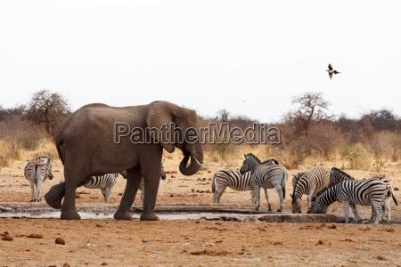 afrikanische elefanten an einem wasserloch