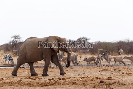 afrikanische elefanten in einem wasserloch