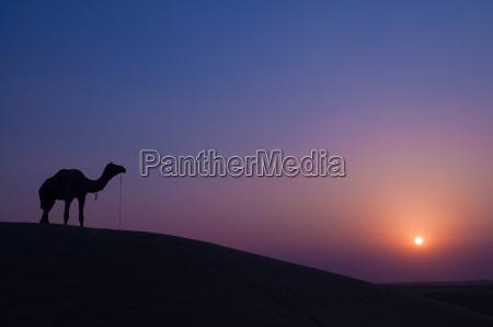 kamel und landschaft