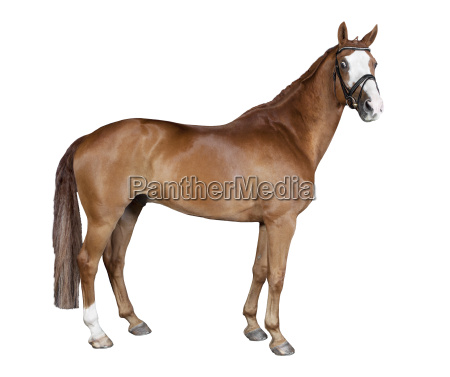 isolated brown horse