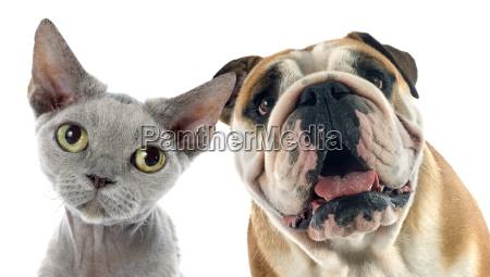 englisch bulldog und devon rex