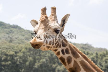 giraffe schau