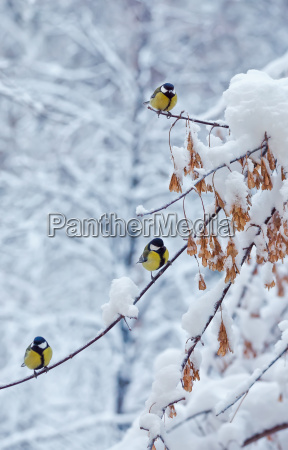 great titmouse on a snow branch