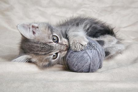 playful kitten with gray ball
