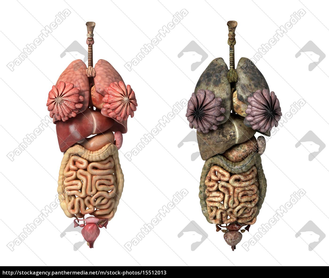 Tolle Bilder Der Inneren Organe Des Körpers Ideen - Menschliche ...