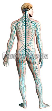 human nervous system diagram