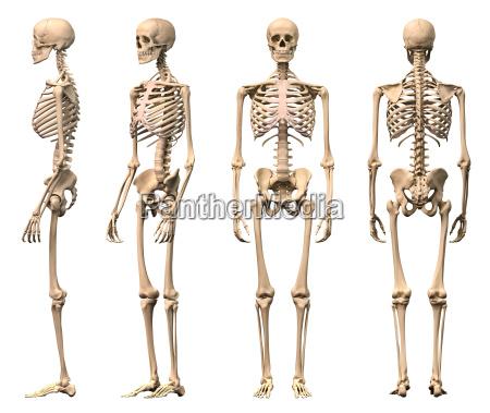 maennlich menschliches skelett vier ansichten vorne