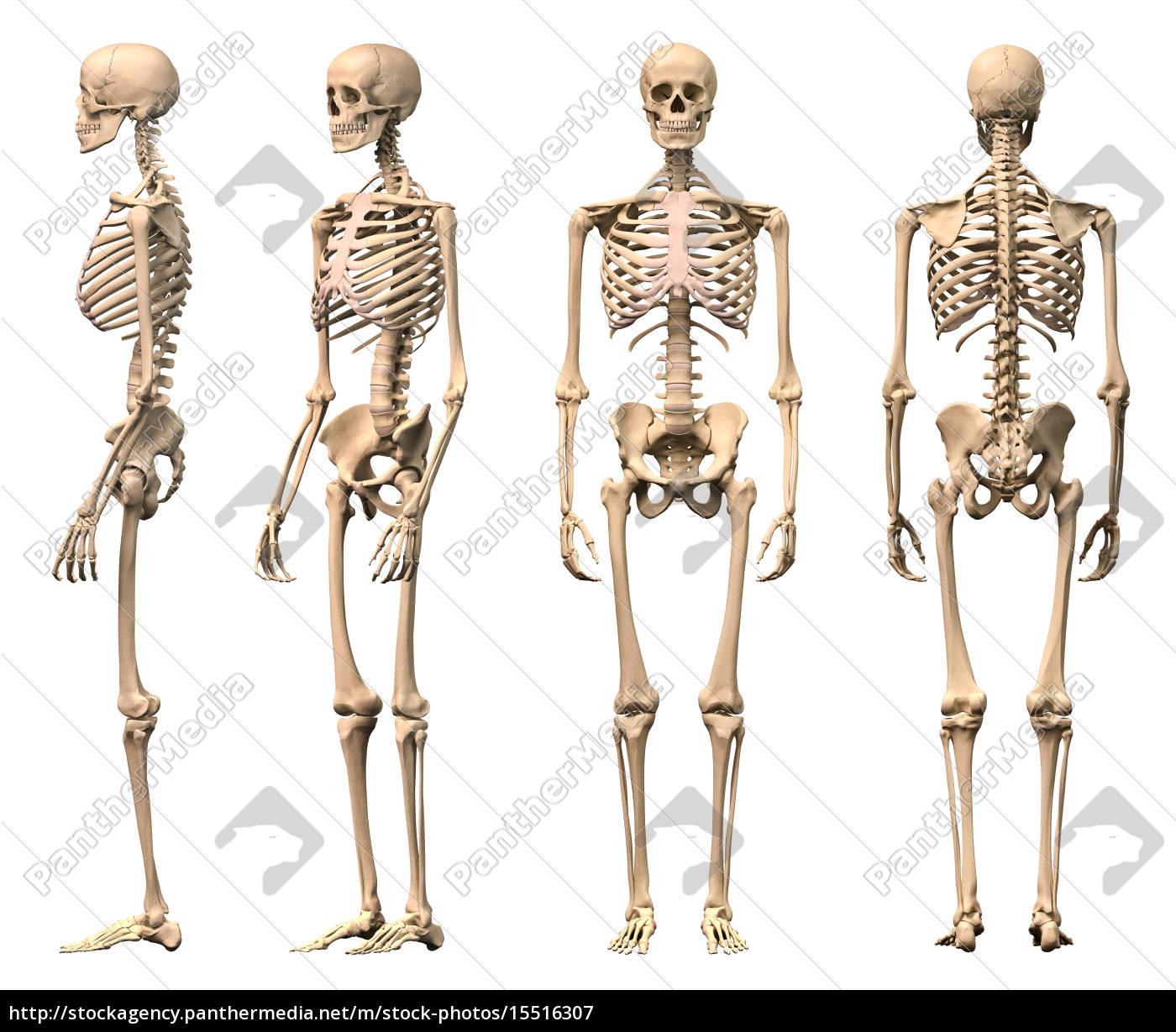 Tolle Skelett Pic Galerie - Anatomie Und Physiologie Knochen Bilder ...