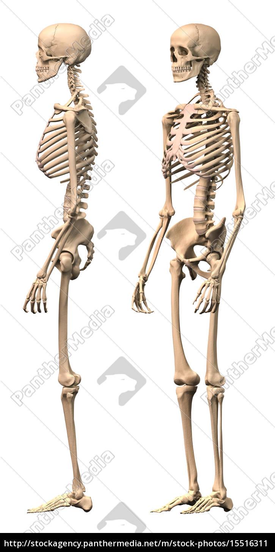 Fein Das Menschliche Skelett Gekennzeichnet Fotos - Menschliche ...