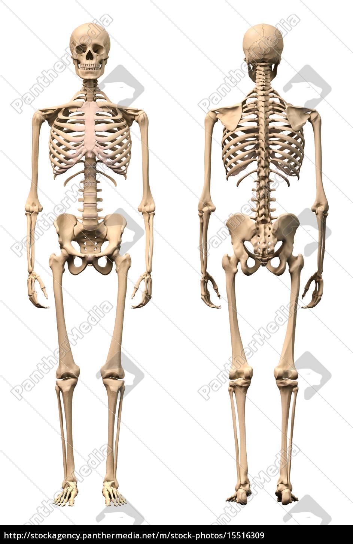 m nnlich menschliches skelett zwei ansichten vorne und stockfoto 15516309 bildagentur. Black Bedroom Furniture Sets. Home Design Ideas