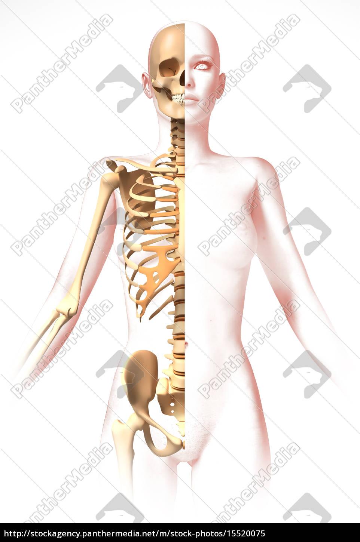 frau körper mit dem skelett. anatomie bild - Lizenzfreies