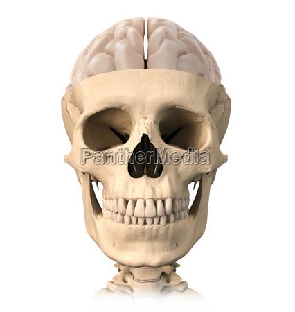 menschlicher schaedel cutaway mit einem halben
