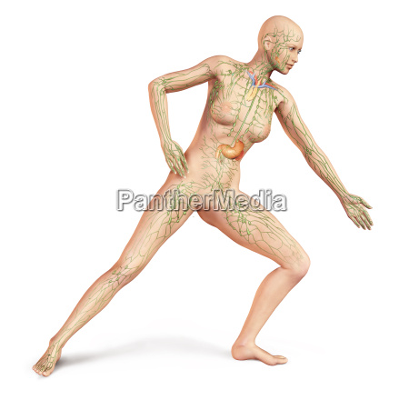female naked body with full lymphatic