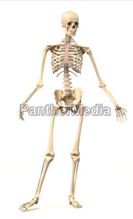 maennlich menschliches skelett in dynamischen koerperhaltung