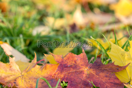 colored maple leaves in green grass