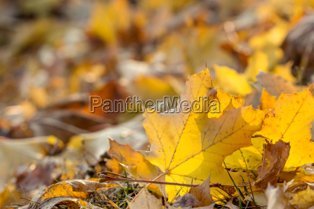 autumn leaves with yellow maple leaf