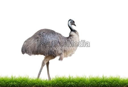 emu mit gruenem gras isoliert