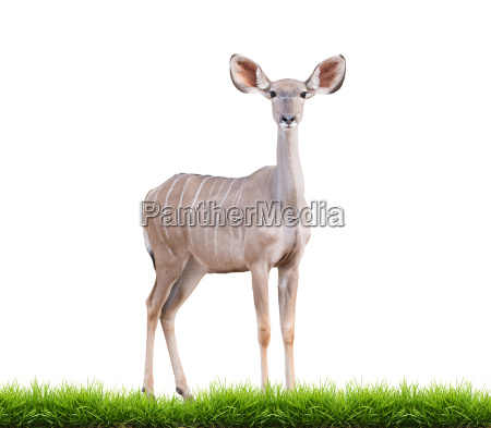 female greater kudu isolated