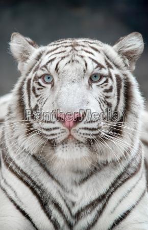 weiss bengal tiger