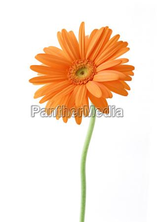 single orange weiss sonnenblume