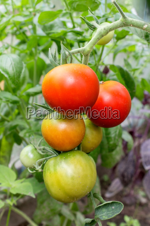 tomato with green and red fruits