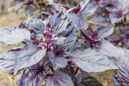 violet leaves of red basil