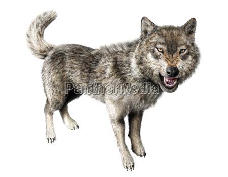 wolf knurren auf weissem hintergrund