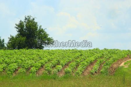 kuechengarten mit straeuchern aus kartoffelanbau