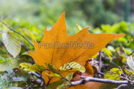 schoene orange ahornblatt in bunten boden