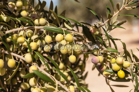 closeup of green olive trees