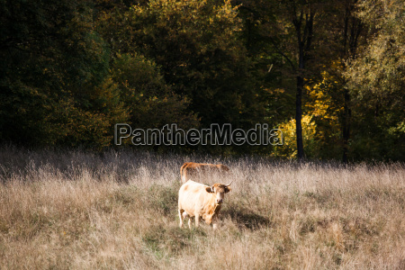 pasture with cow herd in autumn
