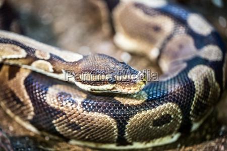 reptil afrikanerin afrikaner afrikanisch pythonschlange python