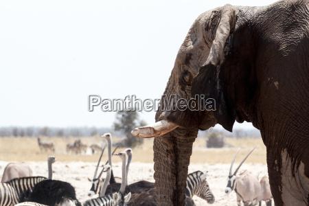 afrikanische elefanten am wasserloch trinken