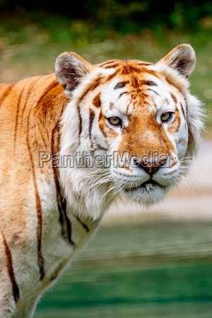 katze raubkatze grosskatze tiger bengalen